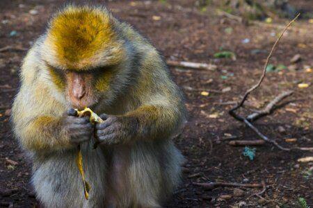 macaco de Berbería en Marruecos