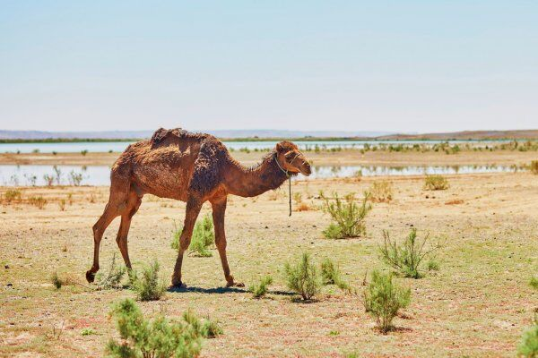 Camellos en el desierto de Merzouga