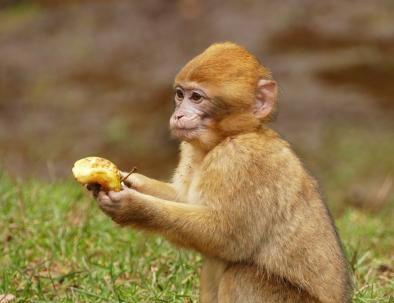 Los monos del macaco de Berbería en Azrou