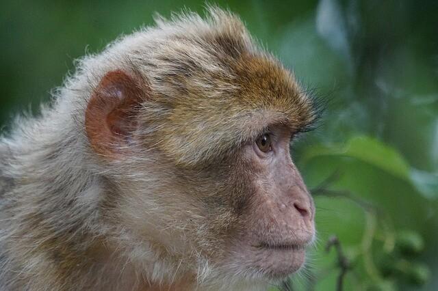 Los monos de Azrou, vamos a visitarlos con nuestro Circuito de 5 dias desde Marrakesh a Fez via Al desierto de Merzouga.