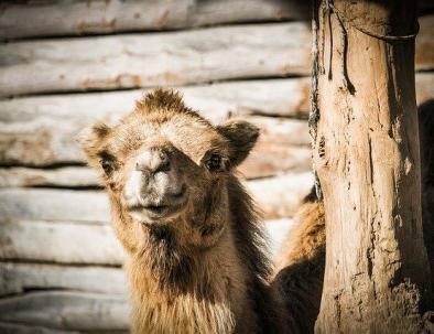 camello de ruta de 2 días Marrakech a zagora