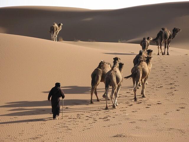 Dromedarios en desierto