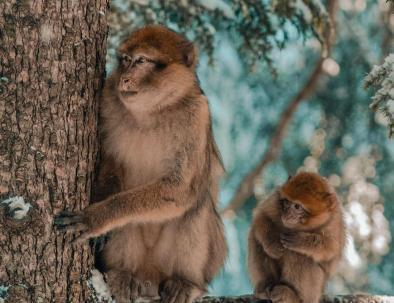 Scimmie ad Azrou, uno degli animali con cui giocheremo durante il nostro viaggio tour itinerario Marrocco 8 giorni