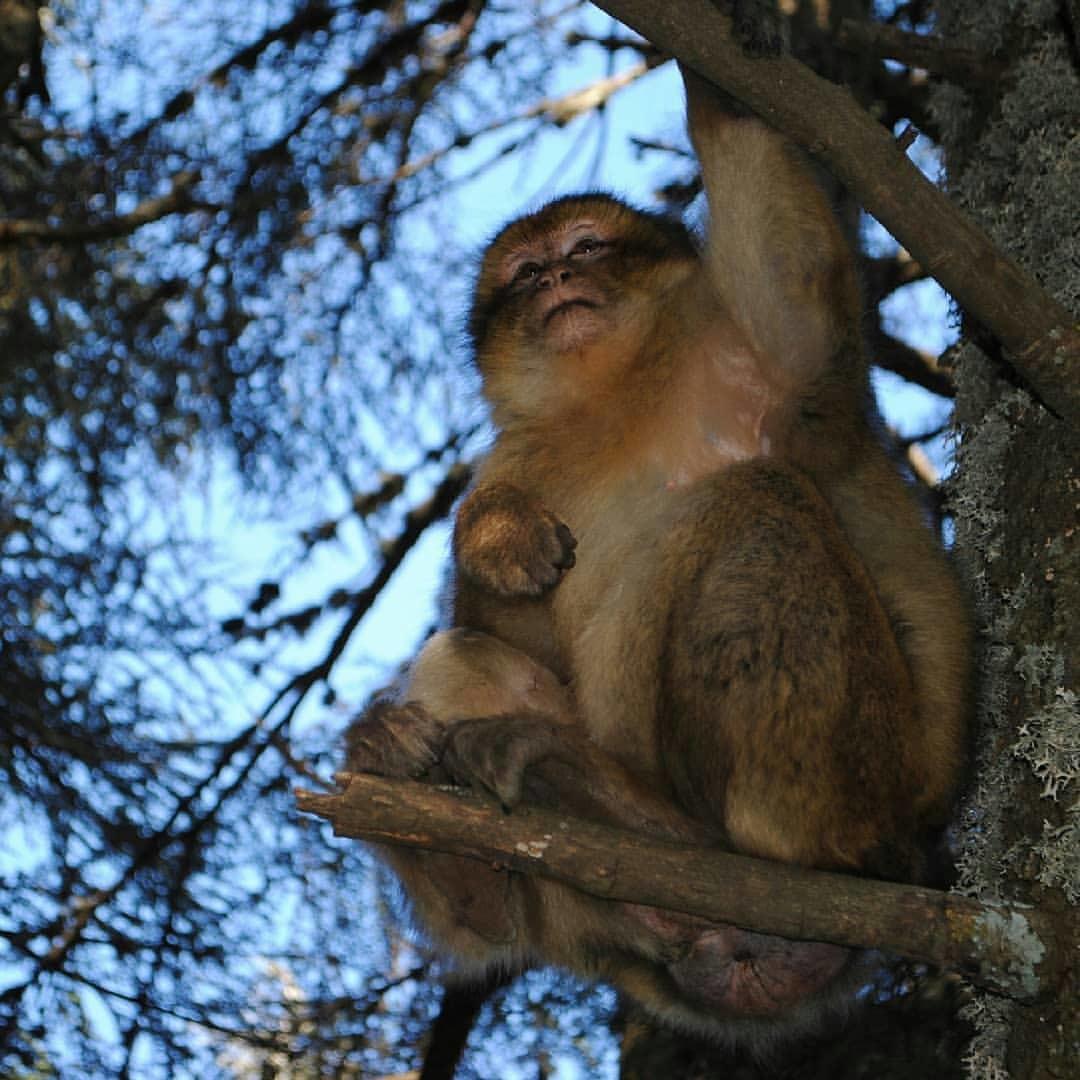 Scimmie del macaco barbaro di Azrou, animali meravigliosi che vedrete con il nostro viaggio di 9 giorni e tour in Marocco