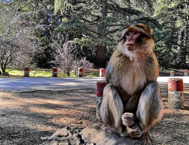 Scimmie di cedro ad Azrou, ci fermeremo con il nostro tour di una settimana in Marocco