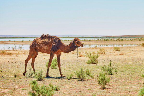 Un cammello con escursioni private e di gruppo nel deserto da Fes