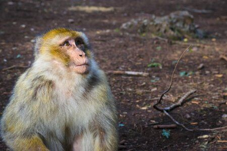 le scimmie barbare in Marocco azrou