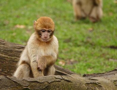Macaco barbaro a Ifrane