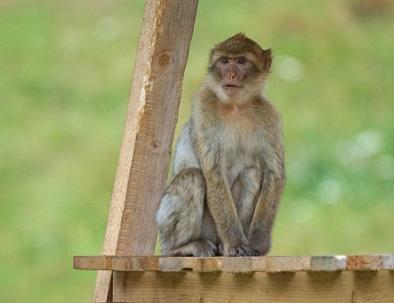 Le scimmie barbare del macaco ad Azrou, le visiteremo con il nostro tour di 6 giorni in Marocco