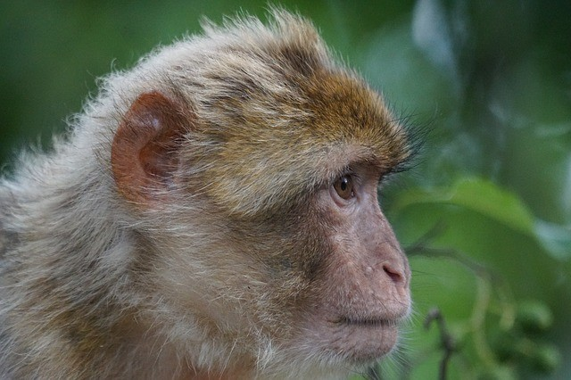 Barbary macaque on the way from marrakech to fes, 5 days morocco tour itinerary