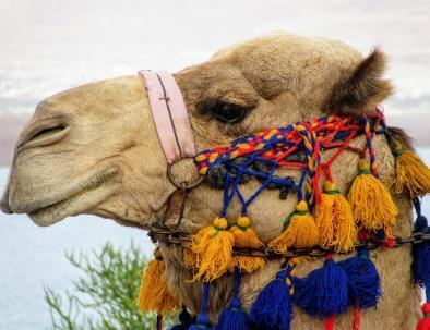 cammelli a marrakech
