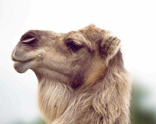cammello del deserto con i nostri 5 giorni da marrakech per scoprire i dintorni