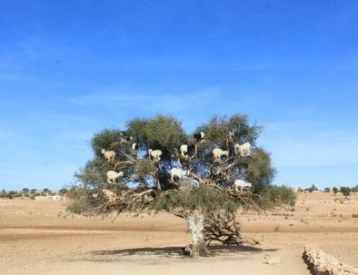 Argan con il nuestro Blog di viaggio Marocco