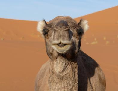 bellissimo cammello a Merzouga con le nostre escursioni nel deserto di Casablanca