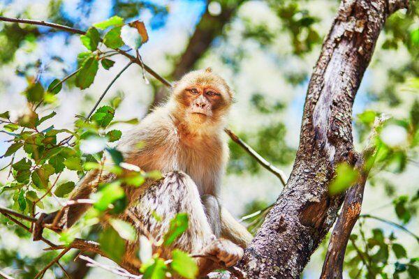 le barbare scimmie macacche nella foresta di cedri di Azrou