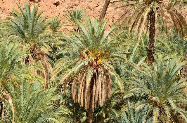 datteri di palme ad Arfoud, una delle città che visiteremo con il nostro tour di 6 giorni di Moroco