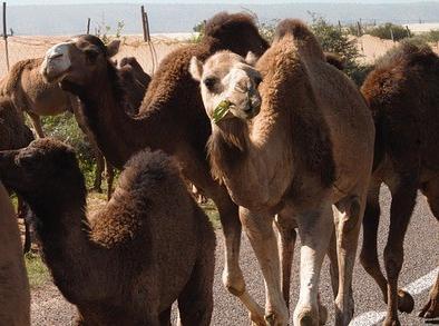 cammelli in Marocco a forare con il nostro tour di 6 giorni