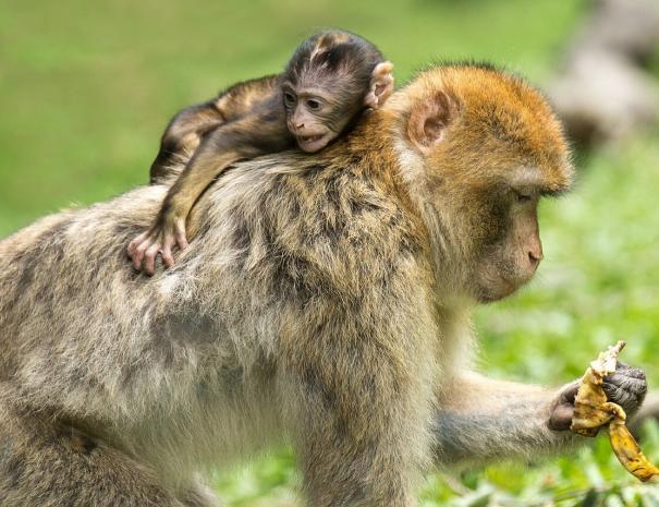 Scimmie ad Azrou, le visiteremo con la maggior parte dei nostri tour ed escursioni a Casablanca