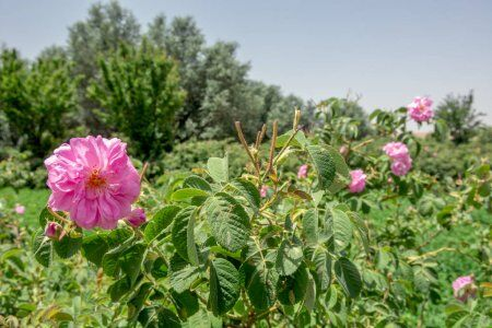 balley of rose flowers at Kalaat mgouna