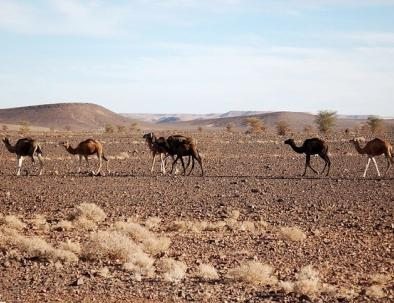 Morocco camel rides, trekking in merzouga desert tours