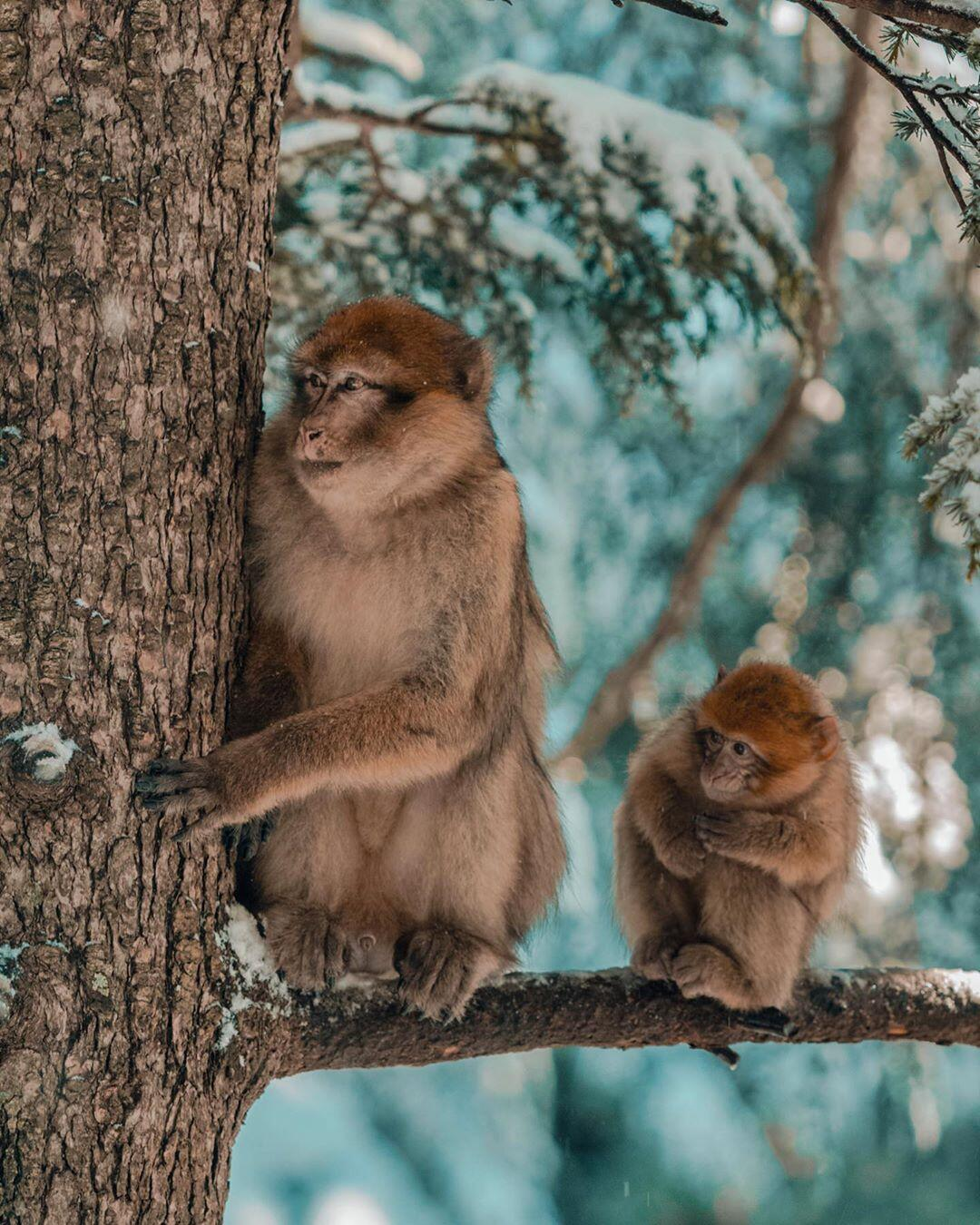 monkeys on the trees of cedar at Azrou