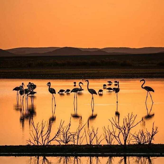 The birds of the flamingos at srij lake in Merzouga.