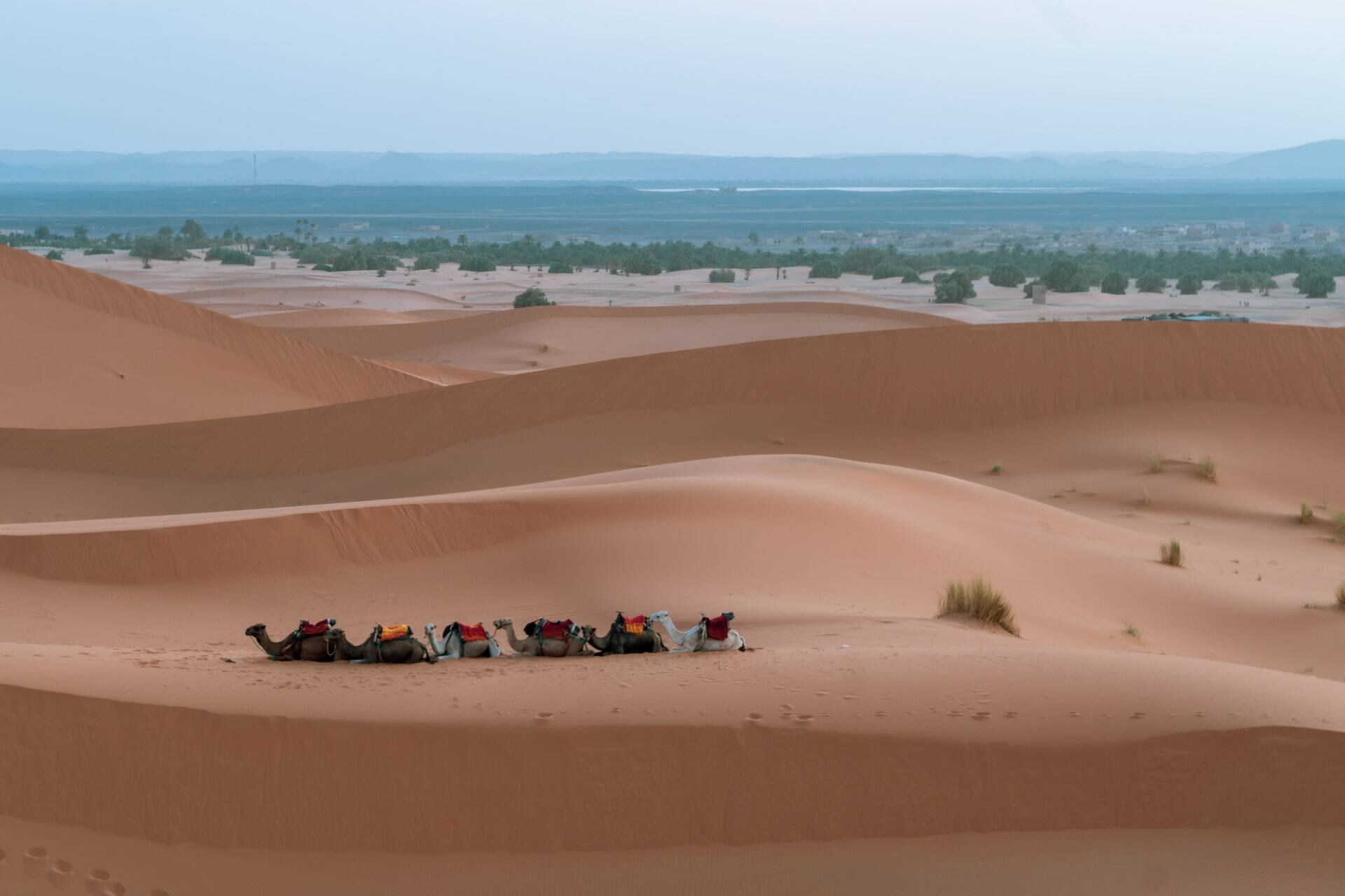 Camels caravan in Merzouga desert