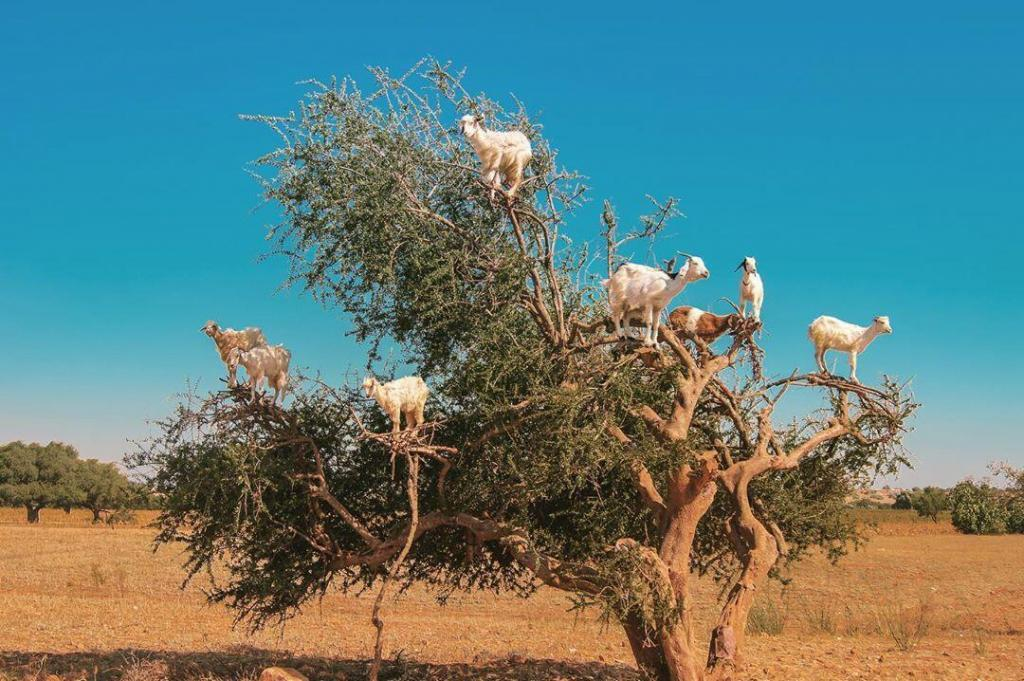 Argan oil, a visited destination during 6 days Morocco tour itinerary