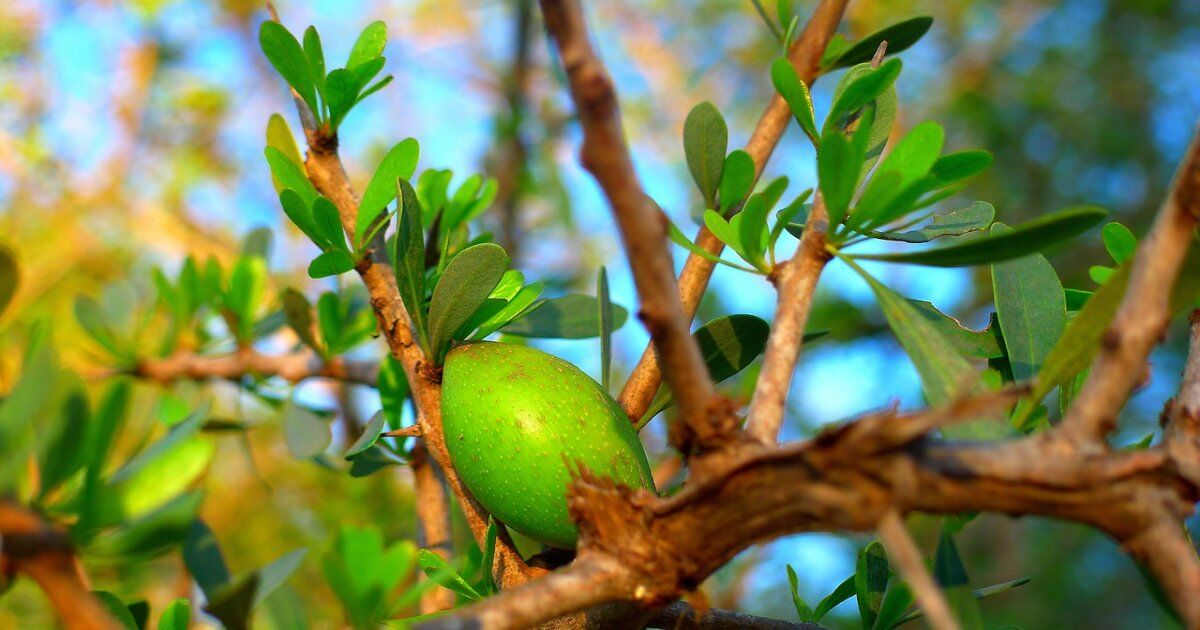 Argan oil in Morocco, the golden liquid tree