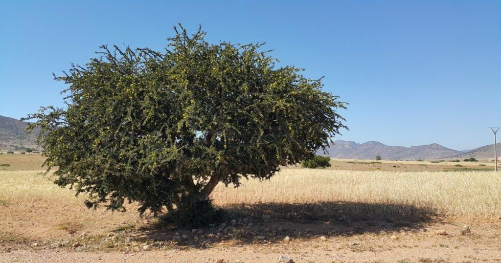 A tree of the famous golden liquid in Morocco